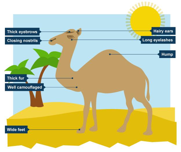 Camel Adaptations